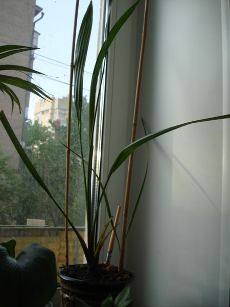 В какой горшок сажать финиковую пальму 70