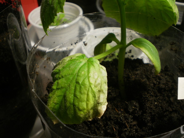 можно не ждать настоящих листиков после пикировки приживаются 100% и растут на глазах томаты: проклевываются на