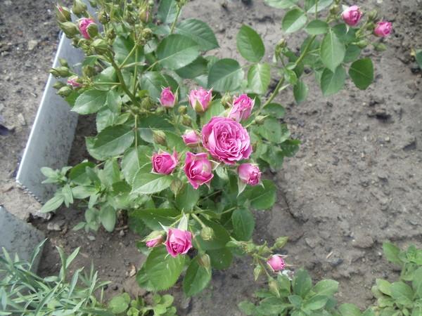 Выращивание розы спрей 35
