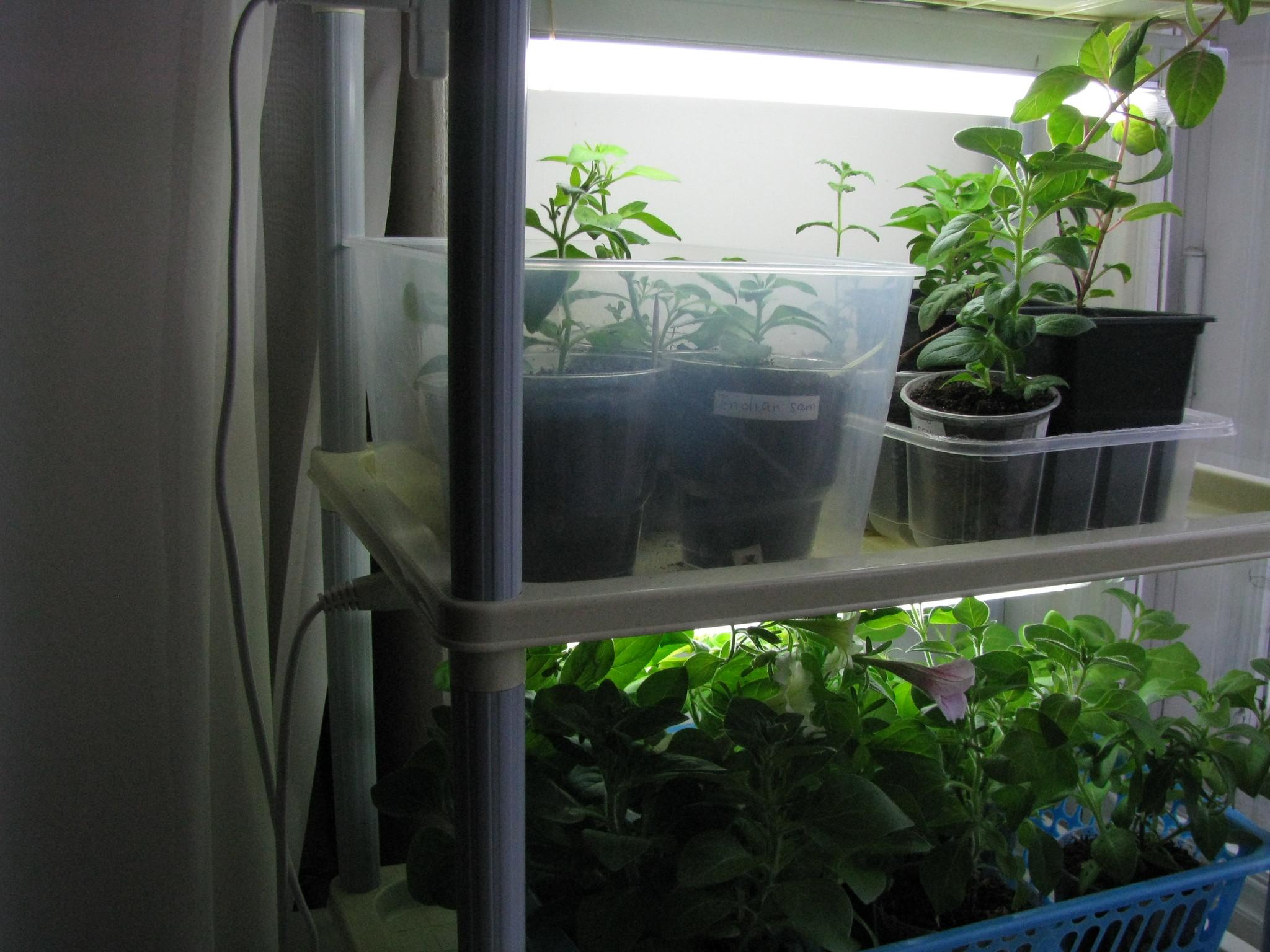 Выращивание рассады под лампой 34