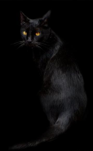 бомбей фото кот