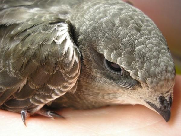 Как выглядят птенцы стрижей