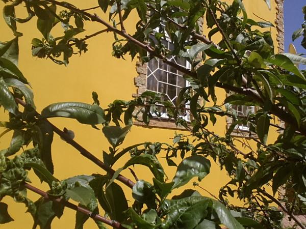 Листья сливы скручиваются что делать