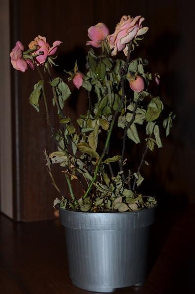 50 Почему сохнет домашняя роза зимой