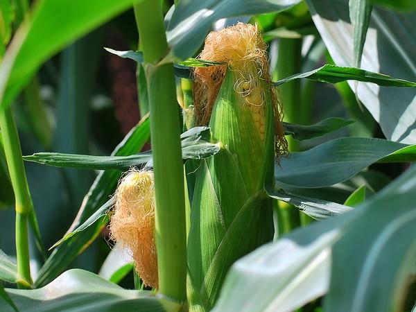 Выращивание кукурузы на початки 33