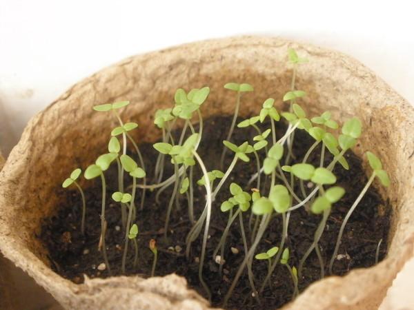 Как сажать семена колокольчика