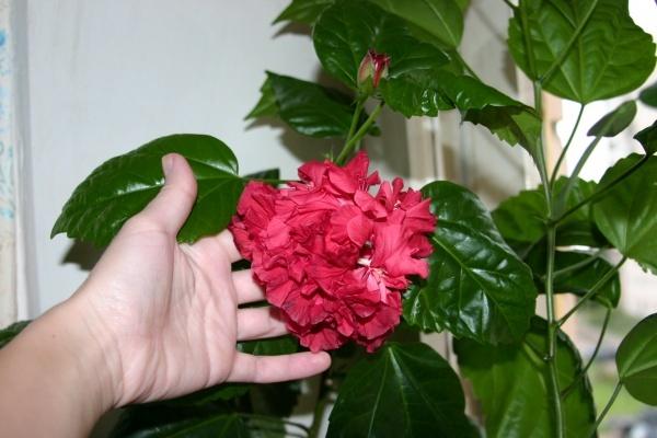 Как цветет гибискус в домашних условиях
