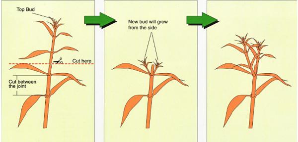Как прищипывать георгины пошагово