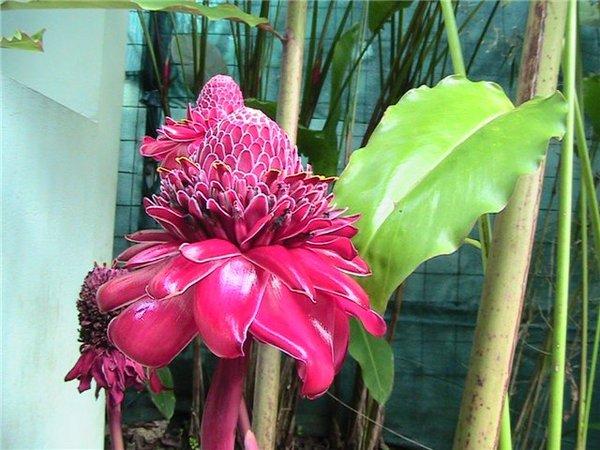 Цветок людоед