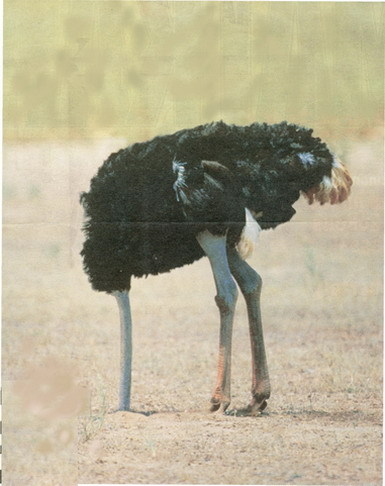 Почему страус втыкает голову в песок