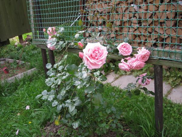 Подпорки для розы плетистой