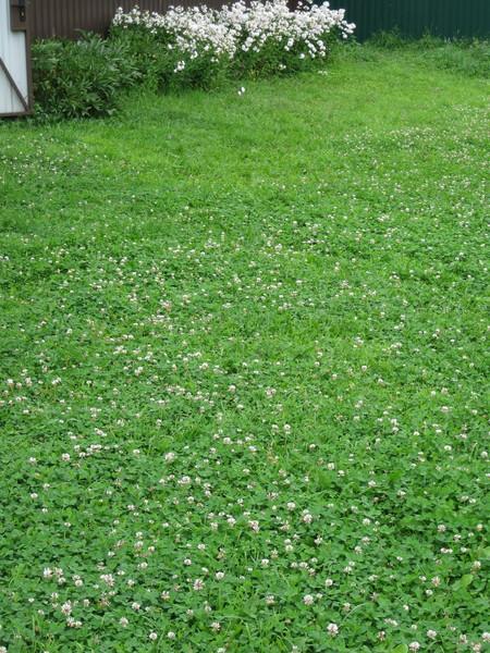 Когда сажают газонная трава лилипут 829