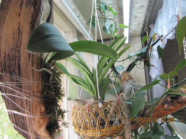 Как содержать орхидеи в домашних условиях