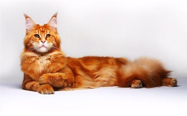 Коты с кисточками на ушах 31