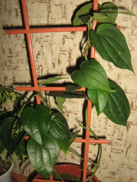 Как выращивать перец горошек в домашних условиях