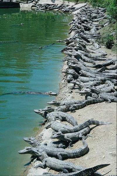 крокодилы у реки фото