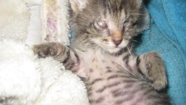 """Ответы@Mail.Ru: Дорогие друзья!!! Подарили котенка, вот уже 2 мес. живет у нас. Когда взяли заметили, что """"текут"""" глазки."""
