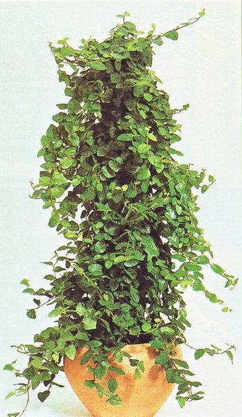 """Ответы@Mail.Ru: Какие ВЬЮЩИЕСЯ растения подходят для """"декоративного выращивания""""? (Подробности смотрите внутри)"""