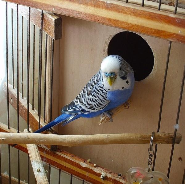 Разведение волнистого попугая в домашних условиях