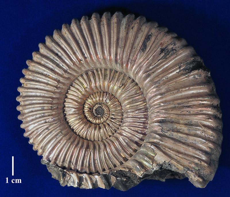 работника фото названия окаменелости моллюсков существует много