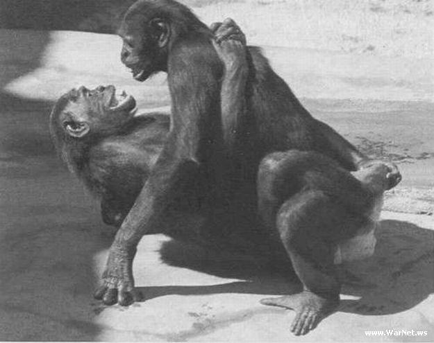 Вот обезьяны занимаются сексом так же как и люди! только почему то в.