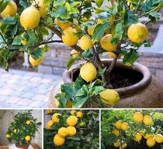 Вырастит ли лимон из косточки в домашних условиях