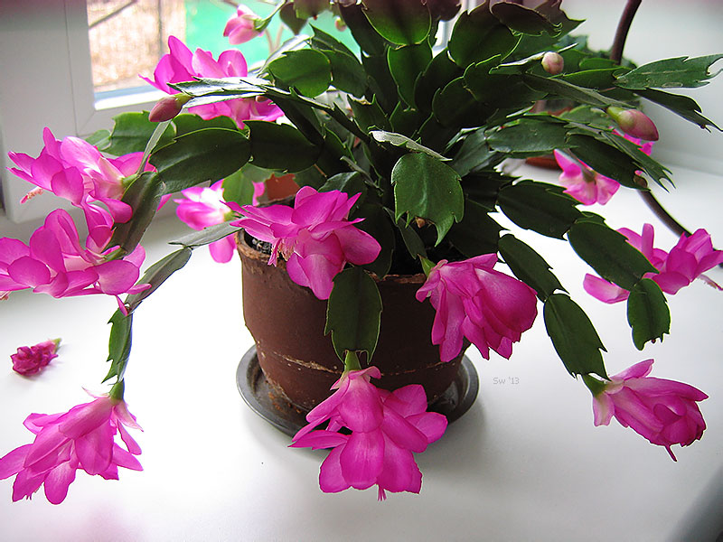 Домашние цветы уход в домашних условиях фото фиалки