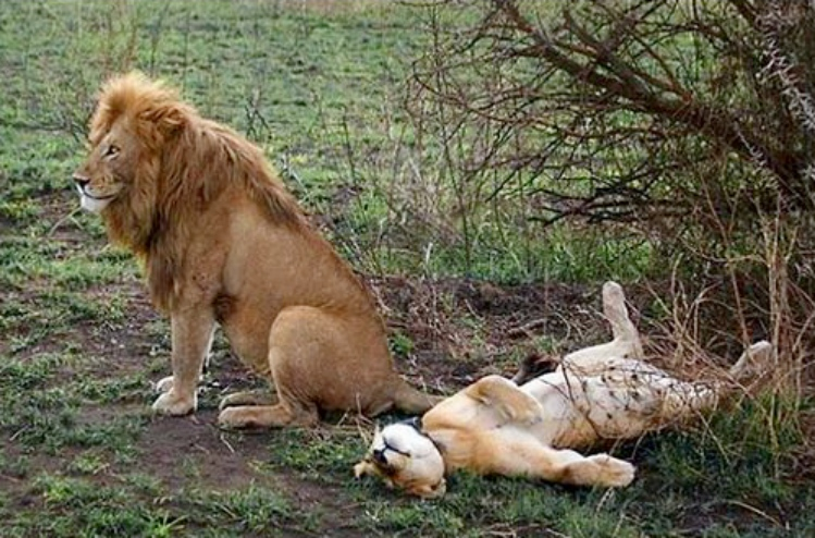 Секс льва