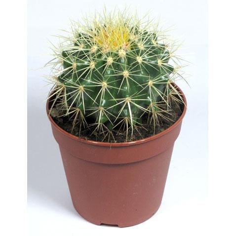 Как ухаживать за кактусами в домашних условиях для начинающих 125
