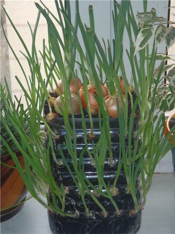 Выращивание в горшках лука 46