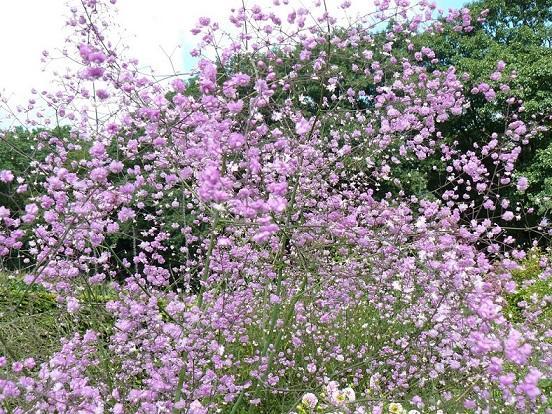 Цветок василистник посадка и уход
