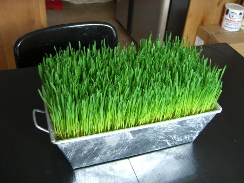 какую траву ест толстолобик