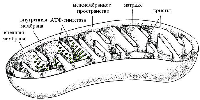 Рисунок митохондрии с подписями