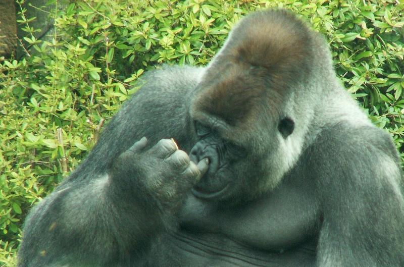 Image Gallery Smiling Gorilla  keywordsuggestorg