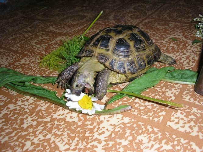 Как содержать сухопутную черепаху в своем доме