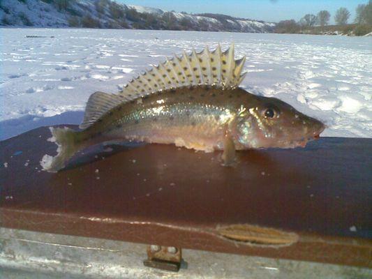 снасти на рыбу бирюк