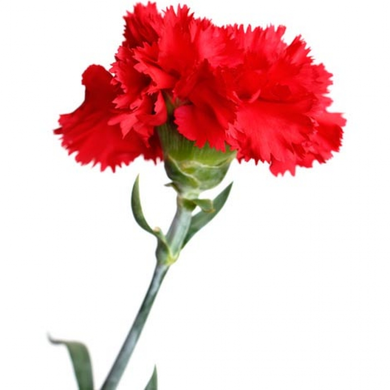 Как выглядит цветок гвоздики 9