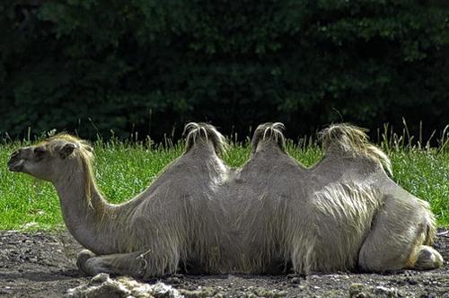 У каких верблюдов 3 горба у беременных