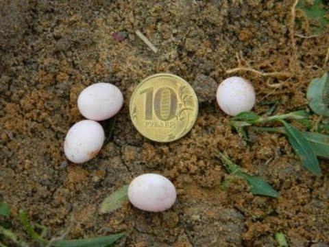 Как выглядят яйца ужа