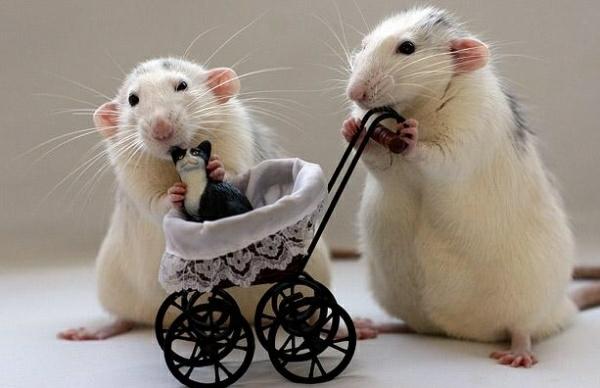Крысе своими руками фото