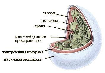 ТЕРМОБЕЛЬЕ может какие органоилы присущи только растительным клеткам маил ру термобелье Данный вид
