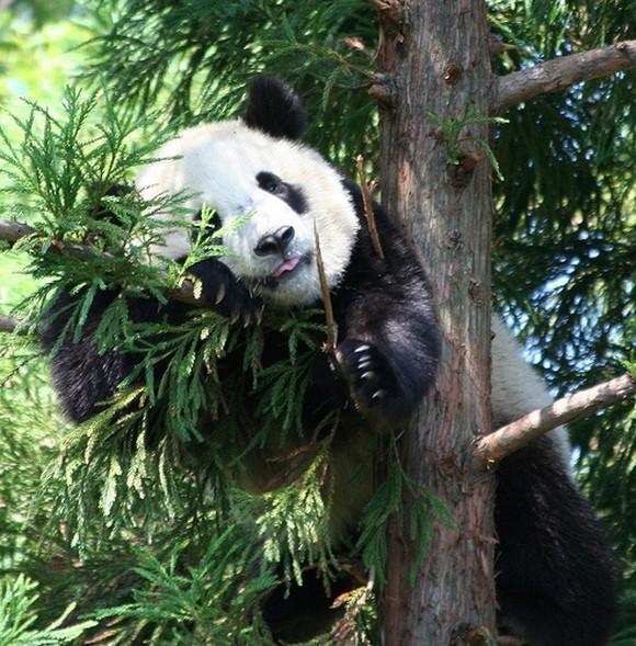 ощущение панды опасны для человека фен-шуй кровать также
