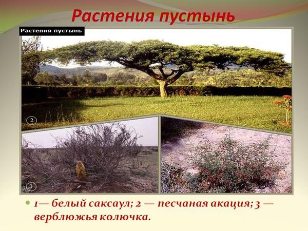 Растения тропических пустынь картинки