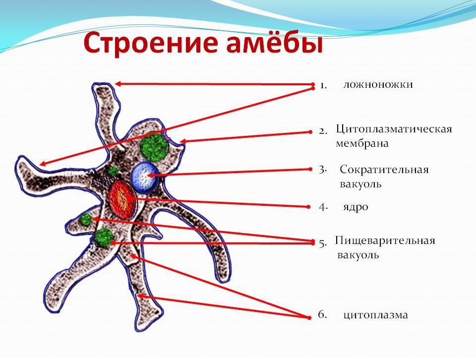 своим схема строения амебы и название частей где фото печатают