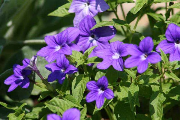 Комнатные цветы синего цвета названия и фото