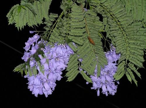 Image result for фиалковое дерево