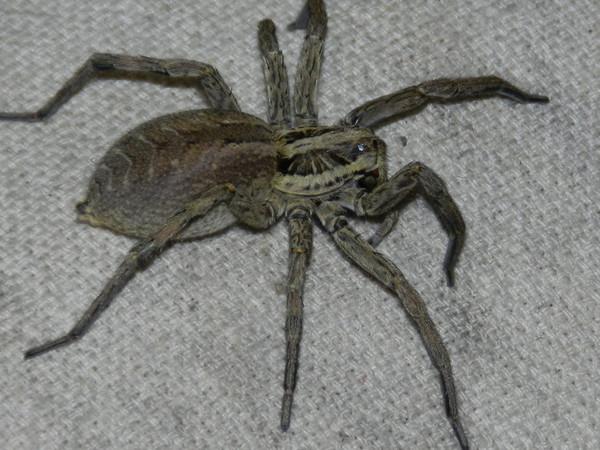 фото паук арлекин