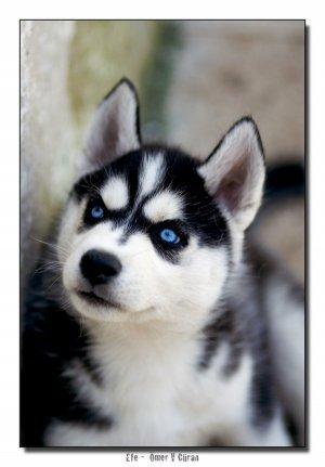 фото лайка с голубыми глазами