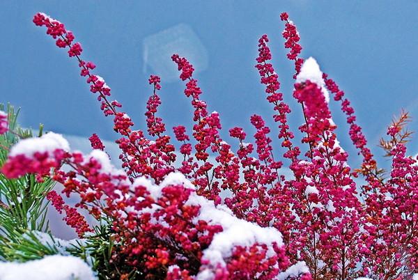 Картинки вереска зимой