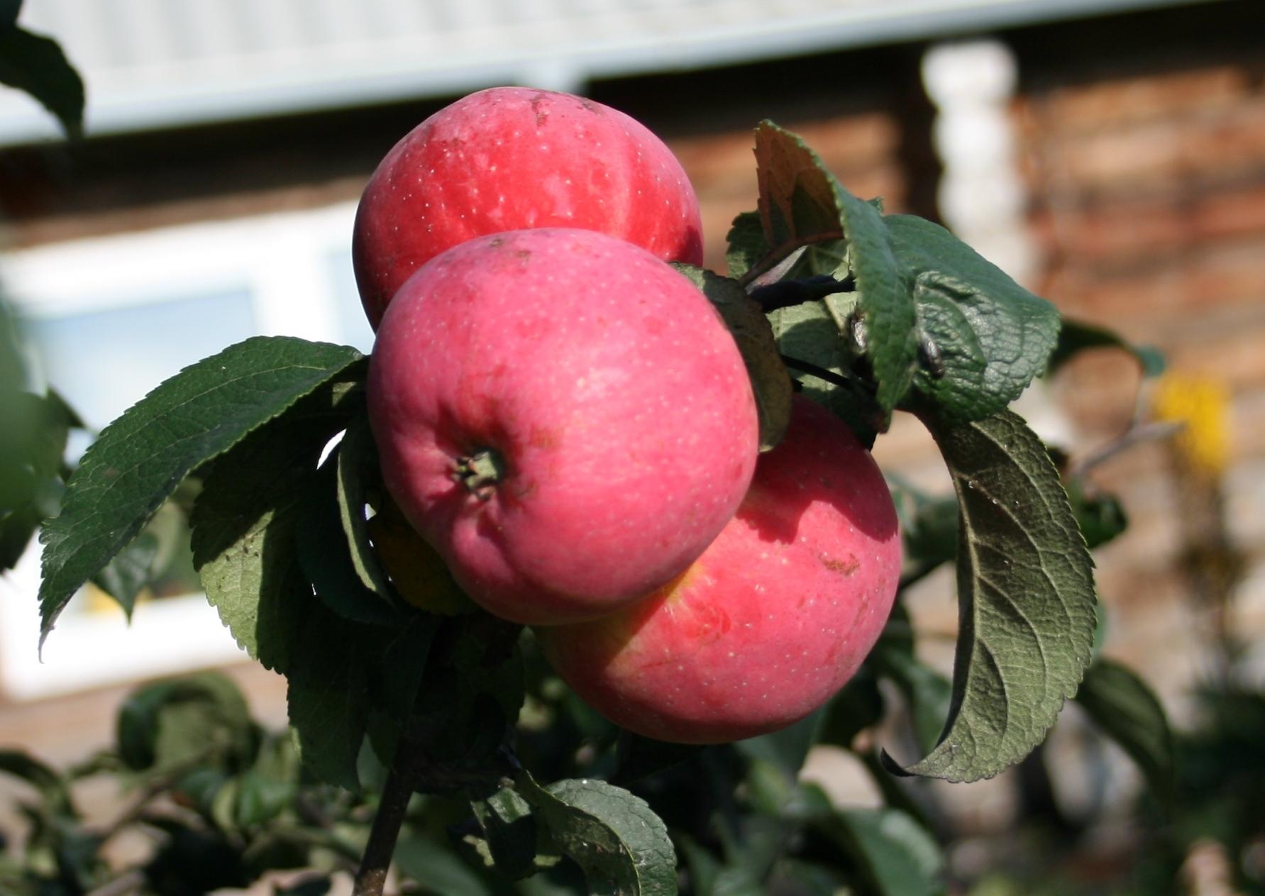 давно яблони для сибири сорта фото и описание самой